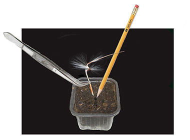'Natures 'way is to make a small hole in your starting mix with a pencil and holding the seed with the spiral 'wing' attached, place it seed first in the hole using tweezers. The seed will start germinating in about 10 days with some seeds taking as long as a month. This is the fun way!